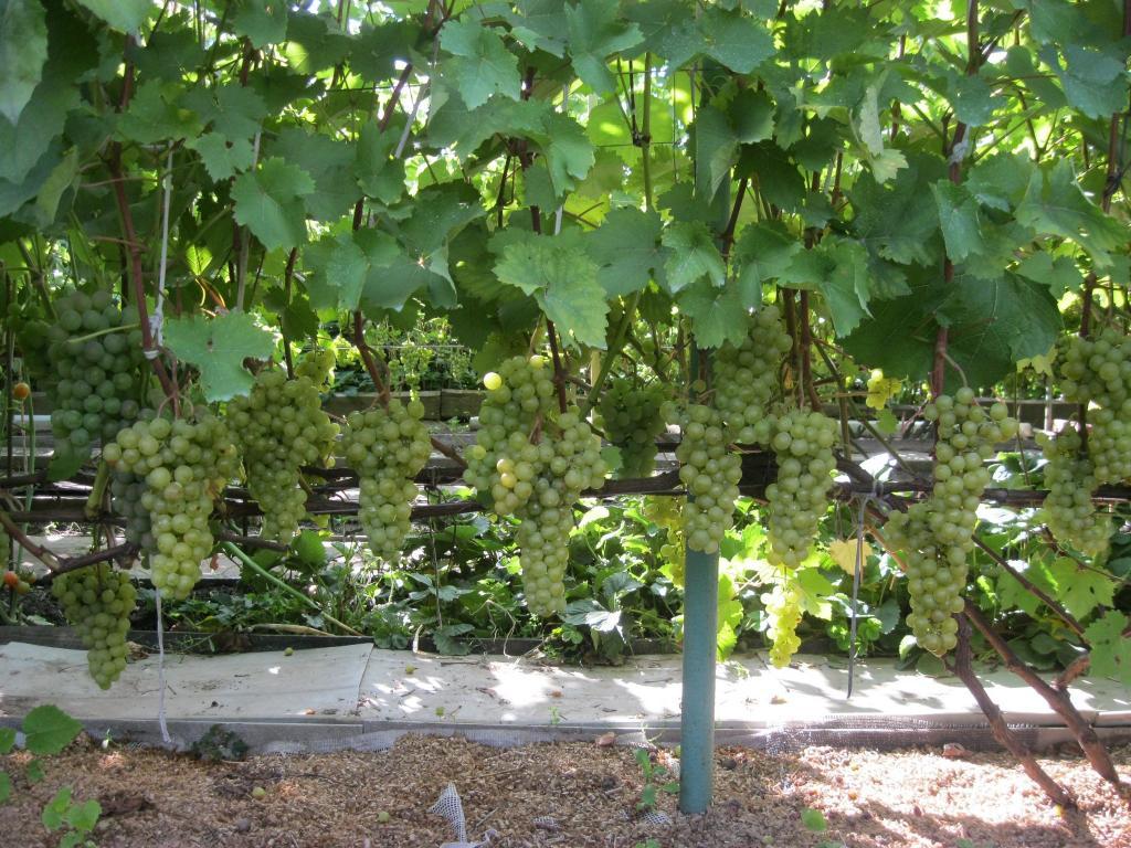 Выращивание винограда из года в год
