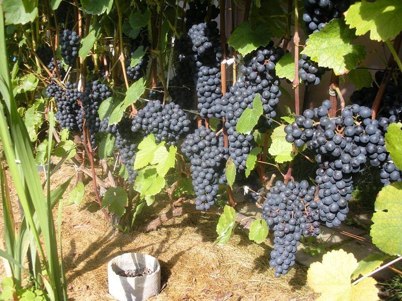 Виноград память домбковской как сажать 59