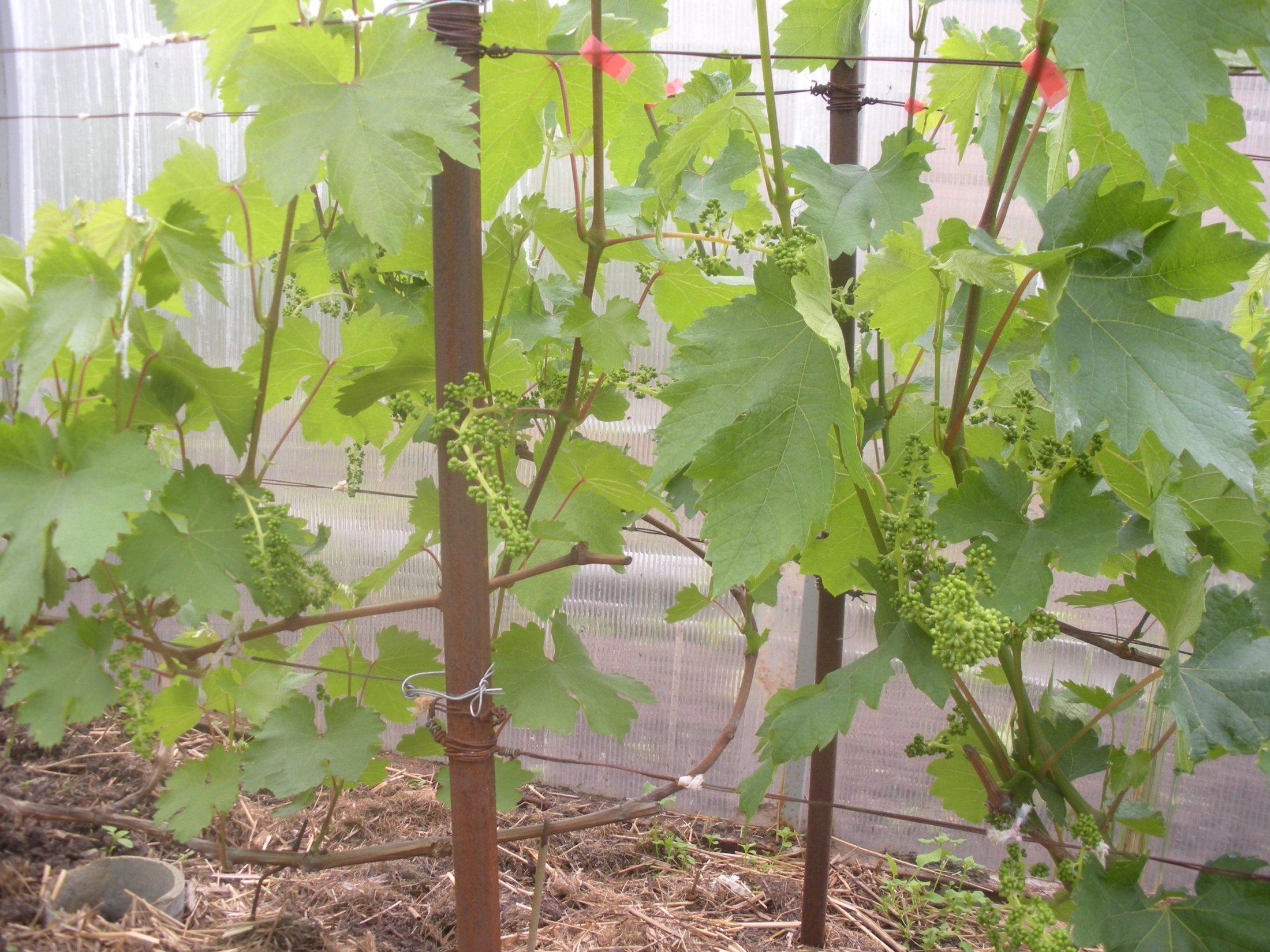 Выращивание винограда из года в год 18