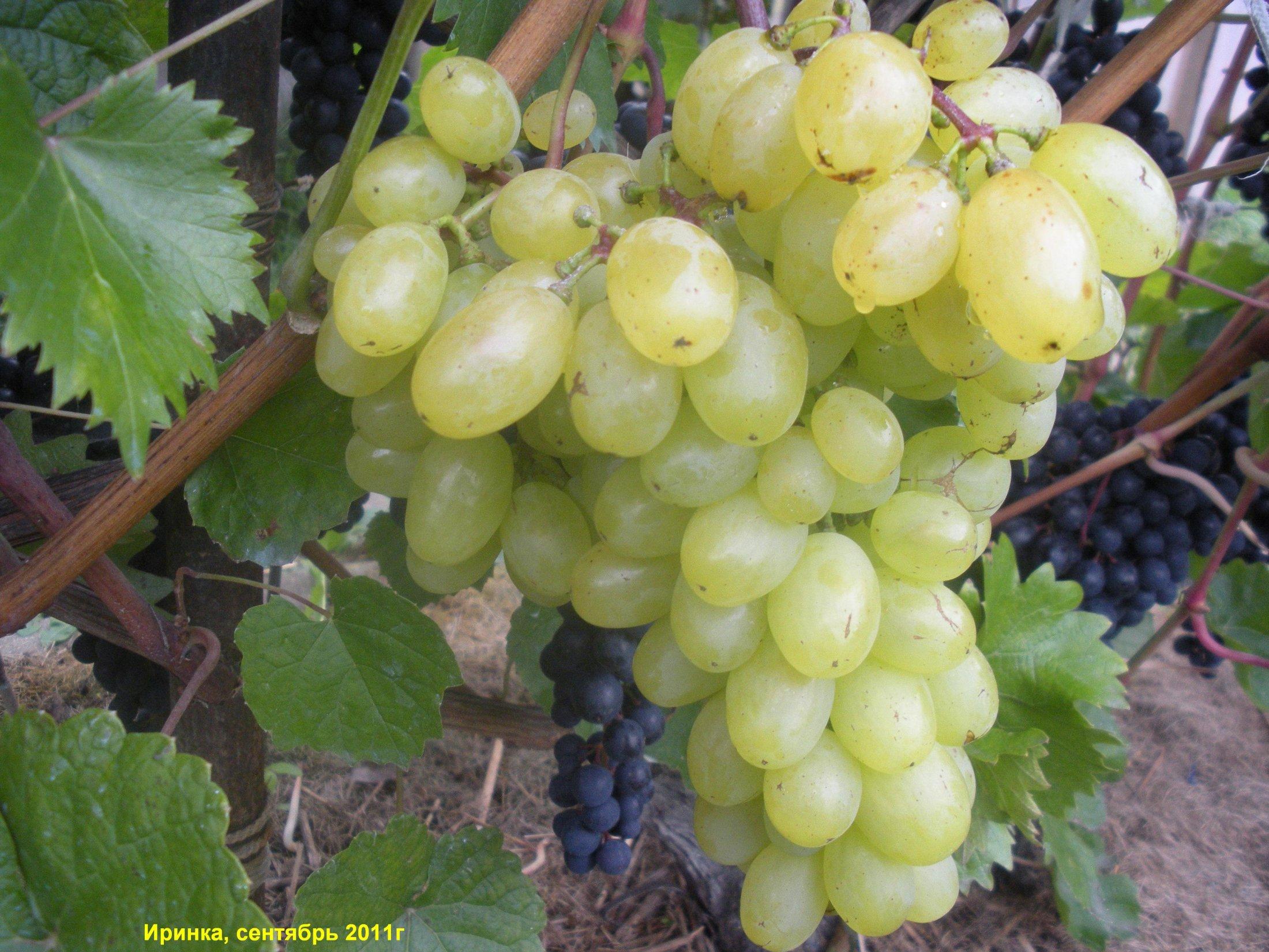 Фото винограда подарок ирине