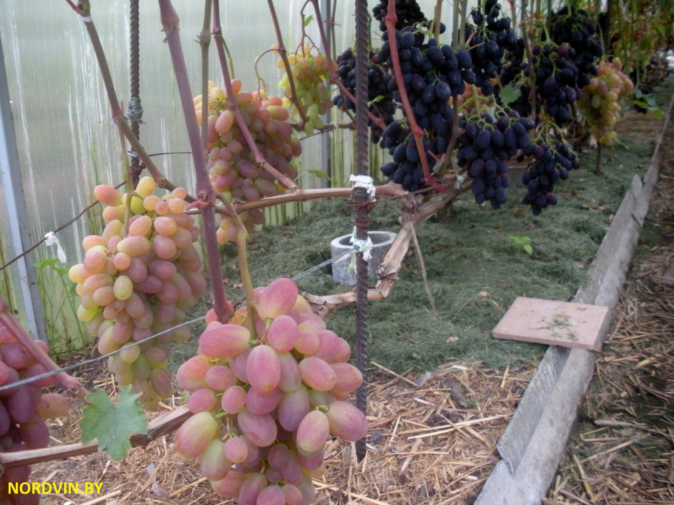 Виноград технология выращивания 84